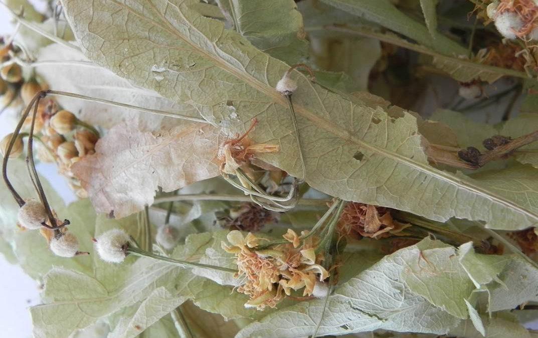 TILLEUL CARPENTRAS 70 g Fleur et Bractée